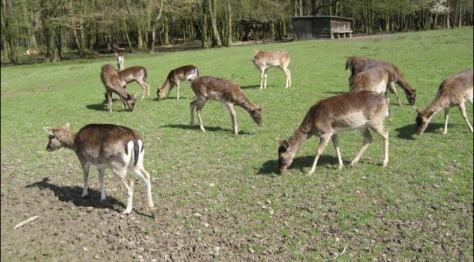 Overpopulated Deer Herd